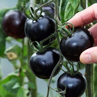 NOIR tomate Graines très savoureux légumes heath Nutritive semences 30 pcs / pack Jardin Bonsai Graines de fleurs