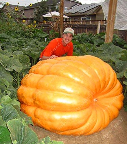 20Pcs semi di zucca gigante di Halloween semi di zucca verdure biologiche cibo non-OGM piante commestibili ricchi di nutrienti per il giardino di casa