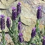 Floralpina - Vinaigre des 4 voleurs 250ml #2