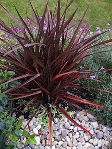Portal Cool De lin Graines d'ornement de pourpre jardin Pot Patio Phormium Tenax Graine 25 Paquet de semences