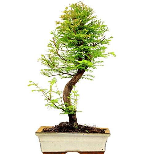 Mammutbaum, Bonsai, 11 Jahre, 49cm