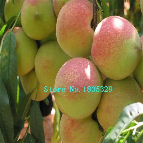 Bloom Green Co. GGG enanos bonanza melocotones, melocotonero - semillas de melocotón - semillas de frutas semillas de bonsai - 1 pieza: amarillo