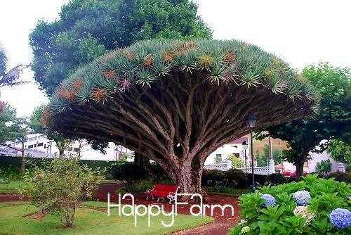 10 PCS rare graines d'arbres de Dracaena dragon île des Canaries arbre de sang (Dracaena draco) voyantes, # Z30QWU
