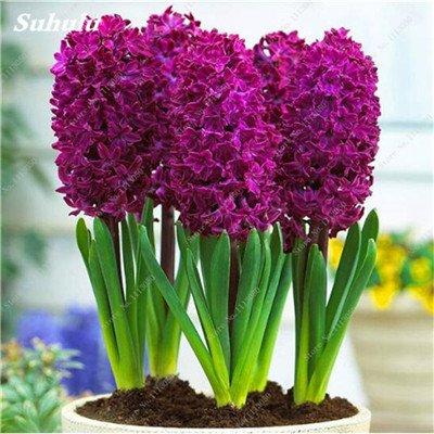 Livraison gratuite Parfum Pas Cher Graines jacinthe, plantes en pot purifient l'air, PC de bureau Décor-100 Pcs Hyacinthus Orientalis Seed 1