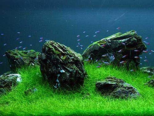 Eleocharis yokoscensis Plantes Graines 10g Organique Fish Tank Décorations Hydroponique Culture Plantes Graines Fleur pour Planter Hone Garden Extérieur (Petit)