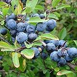UEYR Semillas de endrino (Prunus spinosa) de Paquetes de Semillas 5+ - Palm Beach Seed Company