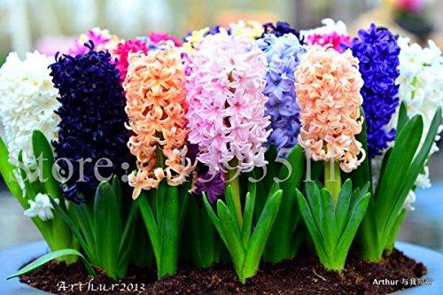 2015 Hyazinthen Zwiebel, 1 Stück Birne Hyazintheblume Bonsai Balkon Blumensamen für zu Hause Garten Bepflanzung