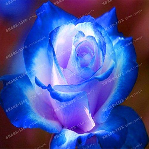 100 particules rares Bleu Rosa chinensis Belle Graines de fleurs Graines de fleurs Rose Arbuste parfum du thé Balcon Bonsai Jardin des végétaux