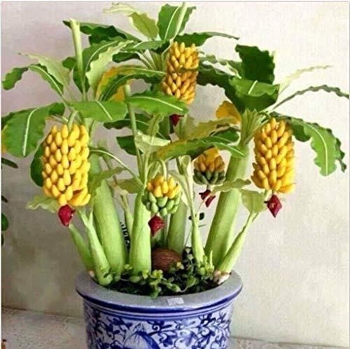 Yongse Egrow 30 Stück Zwergbanananensamen Bonsai-Baum Tropische Fruchtsamen Balkonblume für Hauspflanzen