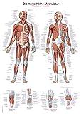 Lehrtafel'Die menschliche Muskulatur', 70x100cm