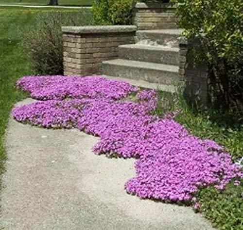 QHYDZ Garden-50ps Semillas de Tomillo Rastrero Semillas Flores Aromática Cubierta de Tierra,...