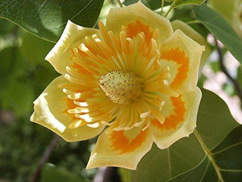 Tulpenbaum, Liriodendron tulipifera 140-160 cm im Topf (140-160 cm)