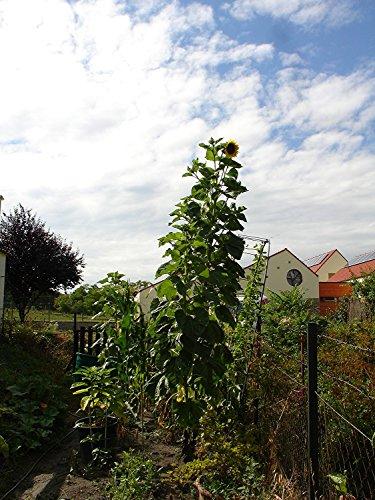 Russische Wagenrad-Riesen-Sonnenblume, der TITAN, bis 5 Meter, 20 Samen,von unserer ungarischen Farm samenfest, nur natürliche Dünger, KEINE Pesztizide, BIO hu-öko-01
