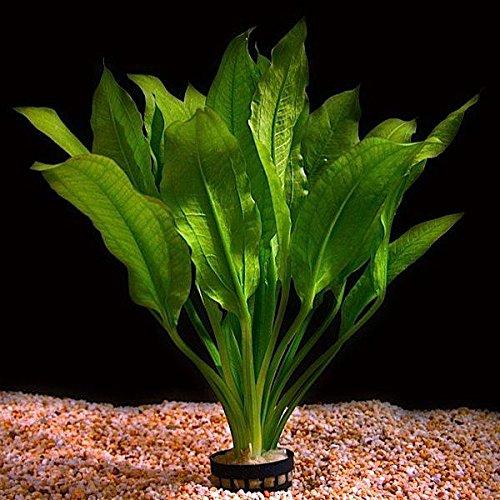 Planta viva para acuario 'Echinodorus Bleheri'