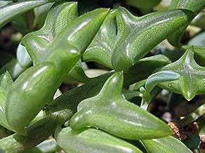 Rare - String of Dolphins Succulent - Senecio peregrinus -Easy to Grow- 2.5