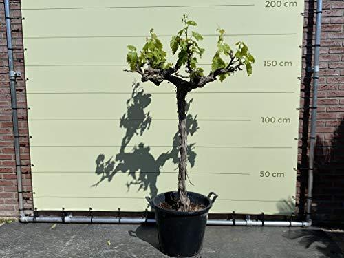 Weinrebe, Vitis Vinifera, halbstamm, 200cm, moscatel