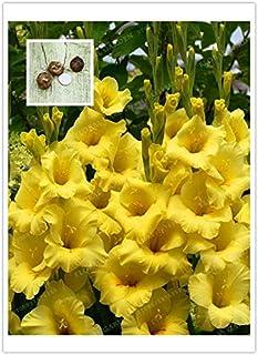 Pinkdose 2 BulbsTrue amarillo Gladiolo Bulbos de Flor Hermosa gladiolo, (Bonsai), flor simboliza la longevidad, Jardín de Plantas