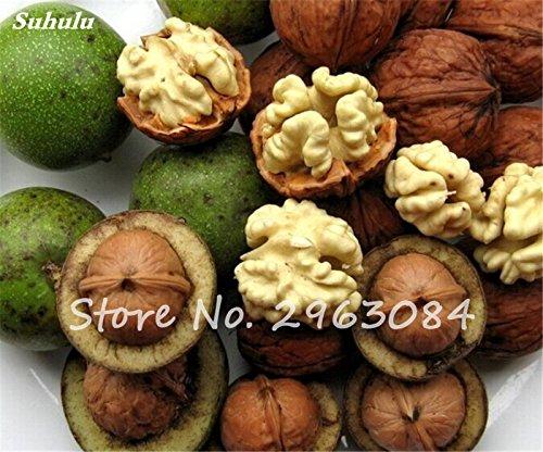 Noyer semences extérieur des semences d'arbres vivaces, utilisation frais et noix, fruits secs, bricolage jardin Ménage meilleur cadeau pour les femmes enceintes 5 P