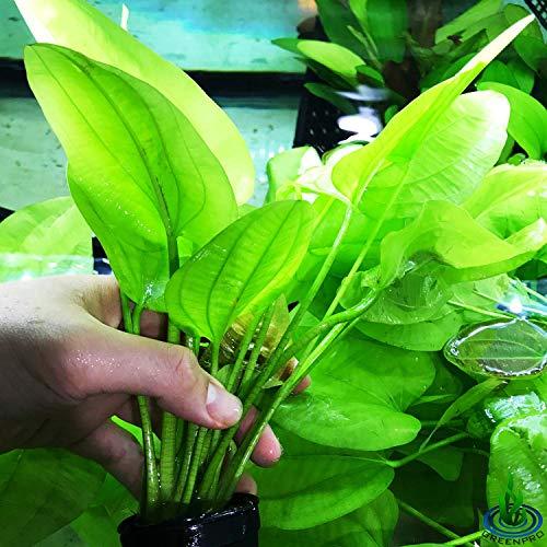 Greenpro Echinodorus Yellow Sun Potted Rooted Amazon Sword Freshwater Live Aquarium Plants Background Decoration
