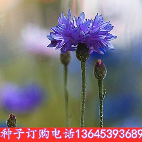 promworld Rare graines de Multicolor,semences vivaces,Graine de Fleur de chrysanthème Plantago Graine de Fleur-0.5kg_Plantain