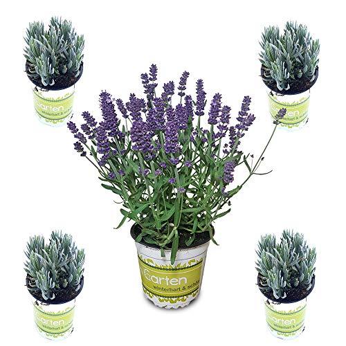 5 Lavendel-Pflanzen im Set (12 cm Ø-Topf): Balkonpflanzen winterhart   Lavendel Pflanze echt   winterharte Stauden   Gartenpflanzen winterhart   Lavendelpflanzen   Staude Kräuterpflanzen