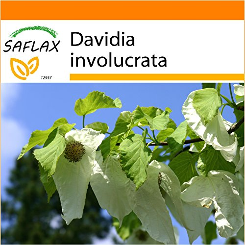 SAFLAX - Garden in the Bag - Taschentuchbaum - 1 Samen - Mit Anzuchtsubstrat im praktischen, selbst aufstellenden Beutel - Davidia involucrata