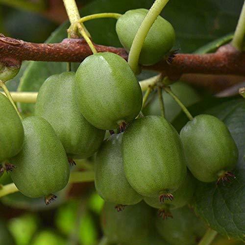 Actinidia arguta 'Jumbo' * - Mini-Kiwi femelle - Kiwaï vert