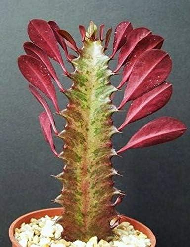Euphorbia Quantity limited Trigona Red Max 45% OFF African Catedral Plant Ca Bonsai Rare Tree