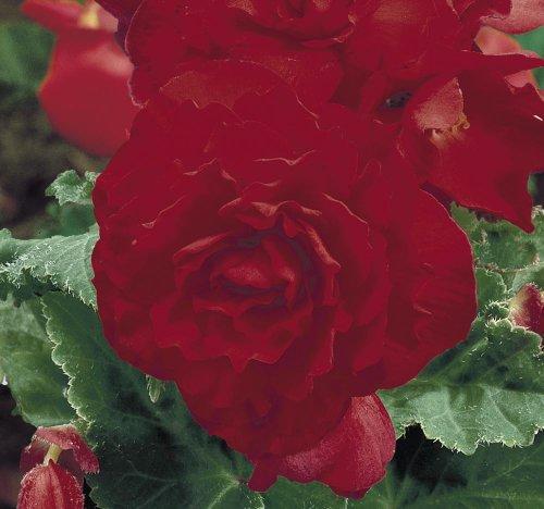Graines de Bégonia Just Seed - Rouge - Floraison ininterrompue - 10 granulés