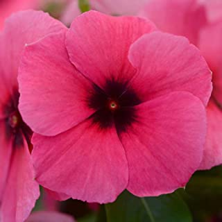 ba307e170 Outsidepride Vinca Tattoo Raspberry Flower Seed - 50 Seeds