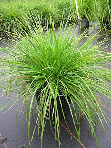 Rasen-Schmiele Goldschleier - Wald-Schmiele - Deschampsia cespitosa Goldschleier (40-60)