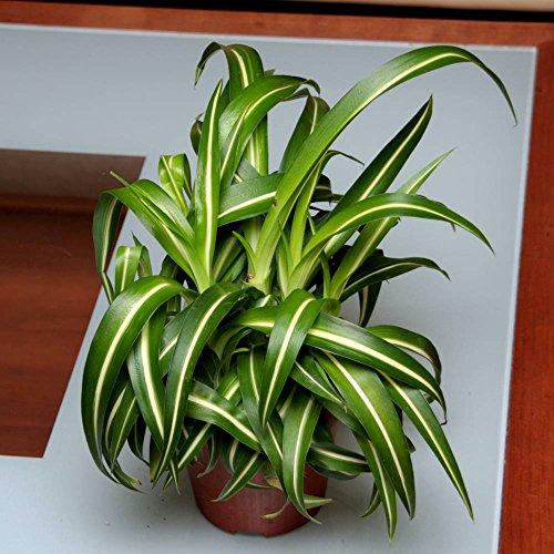 Chlorophytum laxum Pacific - 1 plante