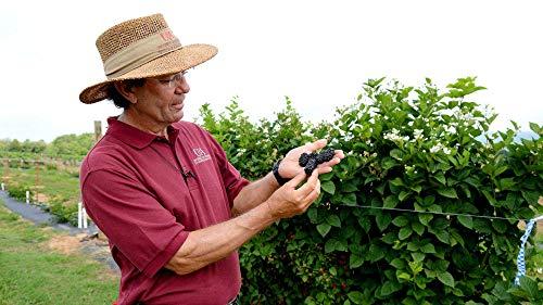 BlackBerry Plants 'Prime-Ark Freedom' Price Includes Four (4) Plants