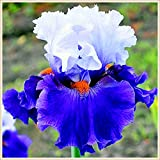 Diosa arcoiris,Hermosas flores multicolores,Bulbos Iris,Flores reverdecimiento ambientales,Iris barbudo-20 Bulbos,1