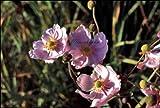 Anemone japonica 'Königin Charlotte' - Japananemone - Staudenkulturen Wauschkuhn - Staude im 9x9cm Topf