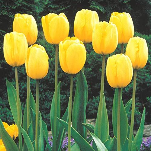 Bulbos de flor de tulipán / Histórico / Estilo único / Magníficos colores/ Plantas de jardín-Amarillo,5 Bombillas