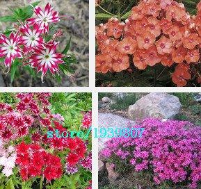 Les meilleures ventes! 100 graines / Lot Black Rose camélia Graines de plantes en pot Graines Jardin fleurs Plantes ornementales en pot commun, # JH8HPA