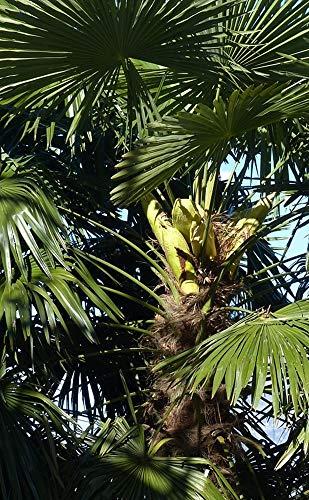 Kanarische Dattelpalme 20 x Samen Phoenix canariensis - Palmensamen -