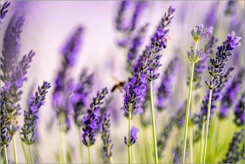 Posterlounge Acrylglasbild 30 x 20 cm: Lavendel im Sommer von Nailia Schwarz - Wandbild, Acryl Glasbild, Druck auf Acryl Glas Bild