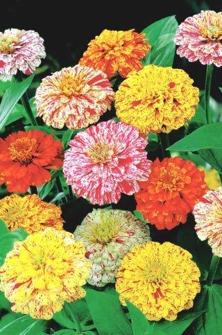 Zinnia raffinierte Dahlie Pfefferminz-Stick - eine Mischung aus bunten Blüten - 120 Samen