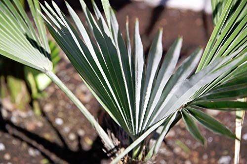 vegherb Trachycarpus Princeps Rare Stone Gate Palm! Kalter Hardy Um -15C / 5F! - 10 Samen