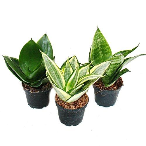 Exotenherz - Sansevieria trifaciata hahnii - 3 versch. Pflanzen im 5,5cm Topf - Bogenhanf, Schwiegermutterzunge
