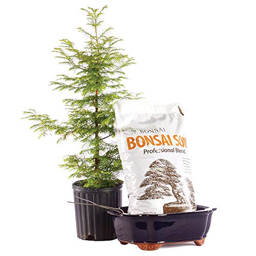 Brussel's Bonsai Live Dawn Redwood Outdoor Bonsai Tree PIY Bundle - 5 Years Old 16' to 20' Tall with Soil & Decorative Container, X Large