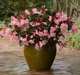 Hazzard's Seeds Begonia Megawatt Pink Brz Leaf 1,000 seeds