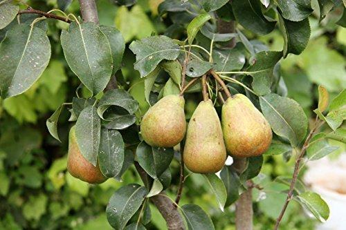 Birnen Baum 'Alexander Lucas' spät Pyrus communis Birnenbaum im 7,5L Topf gewachsen 150-200cm winterharter Obstbaum