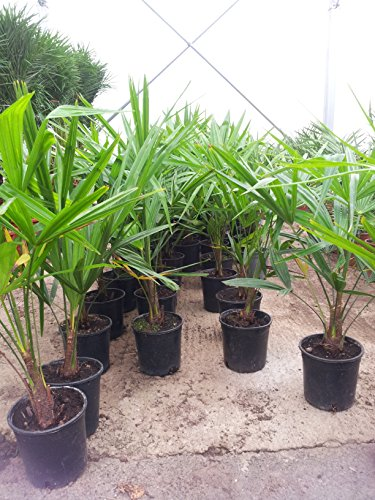 BALDUR Garten Winterharte Kübel-Palmen, 2 Pflanzen, Chinesische Hanfpalme Freilandpalme Gartenpalme, Trachycarpus fortunei frosthart