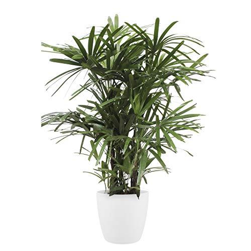 Plante d'intérieur de Botanicly – Palmier à cannes en pot de fleur blanc comme un ensemble – Hauteur: 110 cm – Rhapis Excelsa