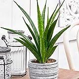 Sansevieria Kirkii'Friends'| Succulente | Plante tropicale d'intérieur | Hauteur 25-30cm | Pot de Ø 10,5cm