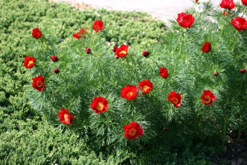 Paeonia tenuifolia Fernleaf PEONY RED FLOWERS Samen!