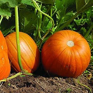 Connecticut Field Pumpkin Seeds, 50 Heirloom Seeds Per Packet, Non GMO Seeds